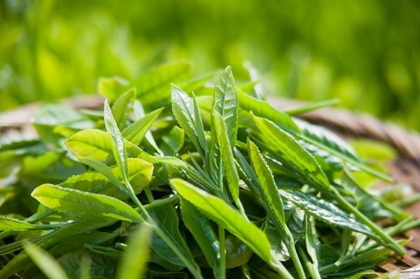Các tác dụng tuyệt vời của trà xanh, cùng tác dụng phụ và cách pha chế