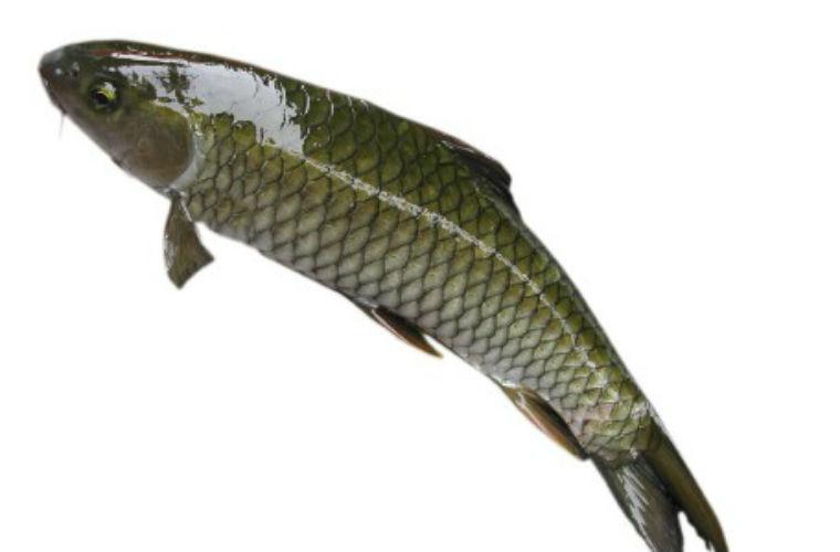 cách làm gỏi cá trắm đen 2