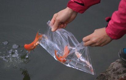 Cách mua và thả cá chép thế nào để có lộc? Và đây là câu trả lời đáng tin nhất