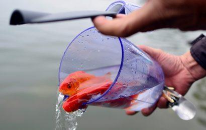 Cùng tìm hiểu ý nghĩa tục lệ thả cá chép trong ngày 23 tháng Chạp 2018