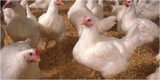 thịt gà công nghiệp có tốt không 3