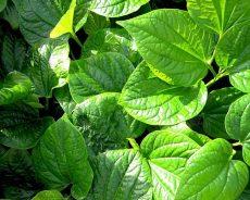 Cây lá lốt ngâm rượu kháng khuẩn, chống viêm và giảm đau rất tốt