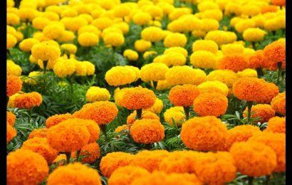 Hướng dẫn cách cắm hoa cúc vạn thọ đúng chuẩn ngày tết