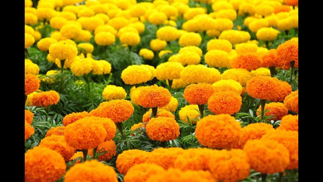cách cắm hoa cúc vạn thọ