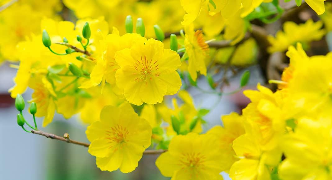 cách chọn hoa mai ngày Tết