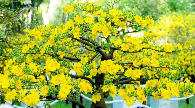 Ra vườn áp dụng ngay cách chọn hoa mai ngày Tết đẹp và chuẩn sau